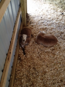 Farm lambs